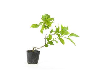 Agrodolce orientale, 19,3 cm, ± 8 anni