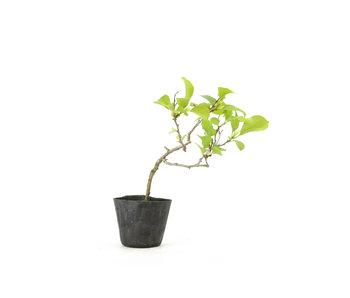 Agrodolce orientale, 19,2 cm, ± 8 anni