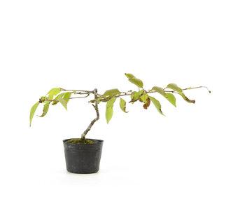 Ciliegio giapponese (Sakura rosso), 22,4 cm, ± 5 anni