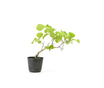 Agrodolce orientale, 18,9 cm, ± 8 anni
