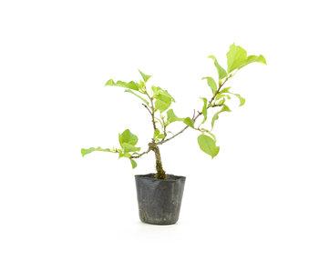 Agrodolce orientale, 18,8 cm, ± 8 anni