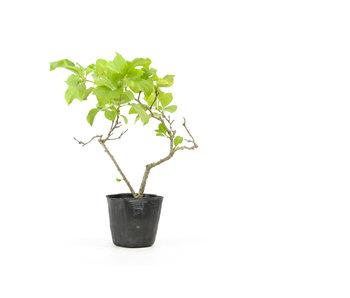 Agrodolce orientale, 18,7 cm, ± 8 anni