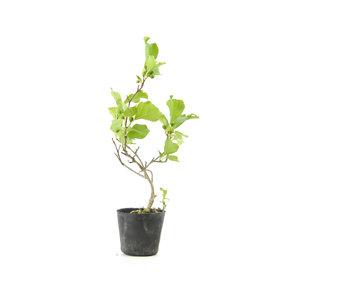 Agrodolce orientale, 18,6 cm, ± 8 anni