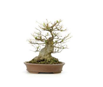 Acero tridente, 20 cm, ± 15 anni