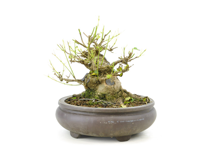 Trident maple, 13 cm, ± 15 years old