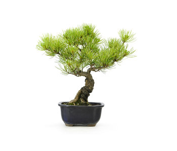 Japanese white pine, 22,2 cm, ± 15 years old