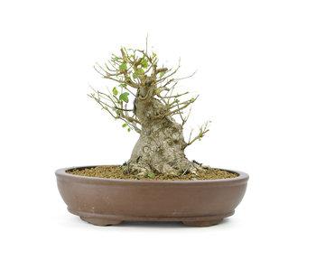 Acero tridente, 18 cm, ± 15 anni