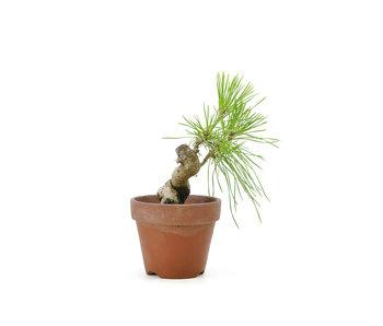 Japanese black pine, 11,7 cm, ± 10 years old