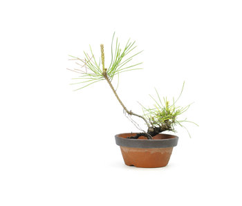 Japanese black pine, 11,9 cm, ± 10 years old