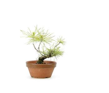 Japanese black pine, 12 cm, ± 10 years old
