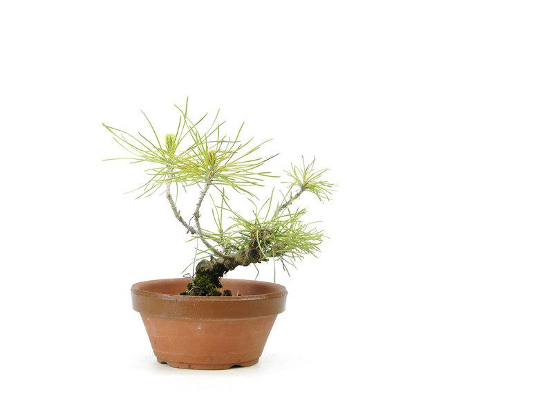 Japanse zwarte den, 12 cm, ± 10 jaar oud