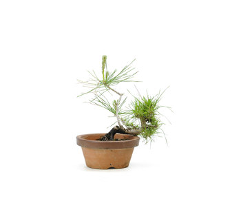 Japanese black pine, 12,1 cm, ± 10 years old