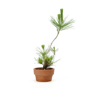 Japanese black pine, 12,2 cm, ± 10 years old