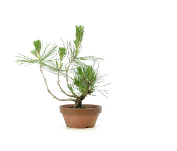 Japanese black pine, 12,3 cm, ± 10 years old