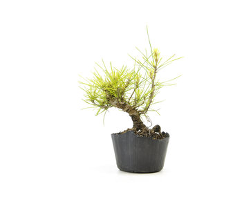 Japanese black pine, 12,4 cm, ± 10 years old