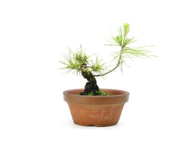 Japanese black pine, 12,5 cm, ± 10 years old