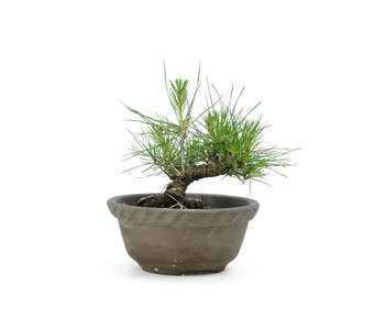 Japanese black pine, 12,9 cm, ± 10 years old
