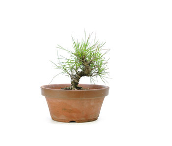 Japanese black pine, 13,1 cm, ± 10 years old