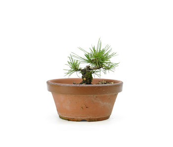 Japanese black pine, 13,2 cm, ± 10 years old