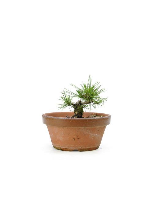 Japanese black pine, 13,2 cm, ± 10 years old