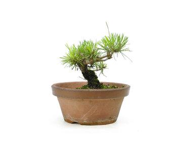 Japanese black pine, 13,3 cm, ± 10 years old