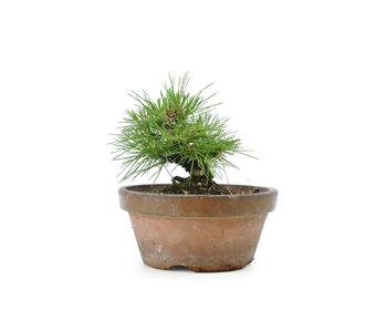 Japanese black pine, 13,4 cm, ± 10 years old