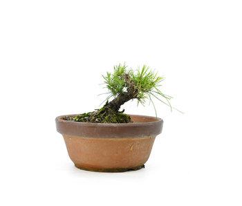 Japanese black pine, 13,5 cm, ± 10 years old