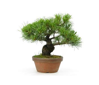 Japanese white pine, 21 cm, ± 20 years old
