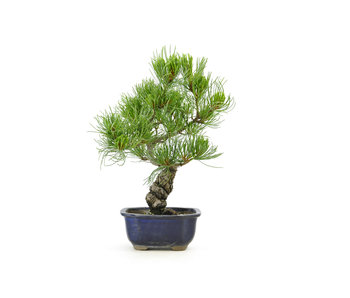 Japanese white pine, 28 cm, ± 15 years old