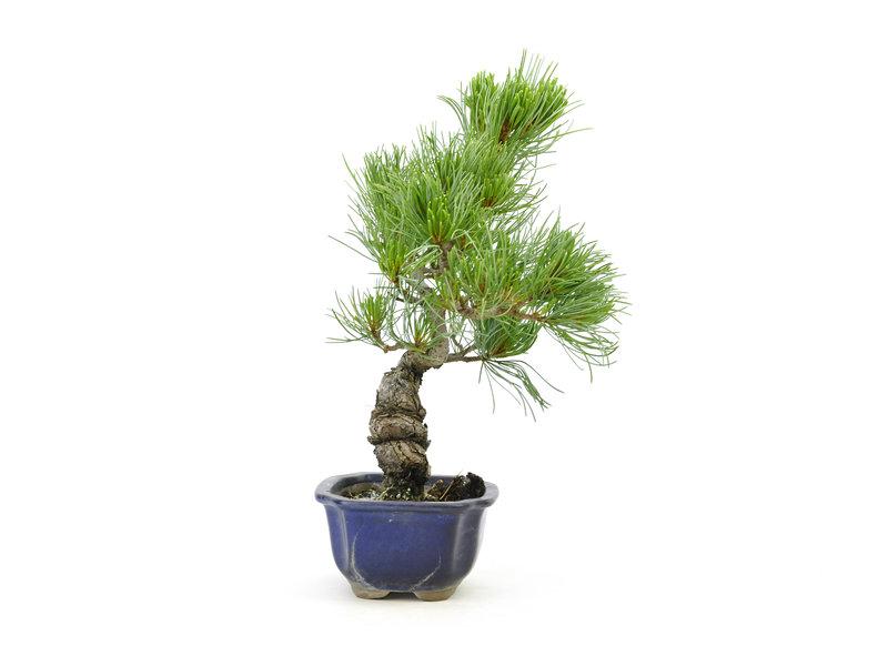 Japanese white pine, 28 cm, ± 15 years old