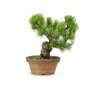 Japanese white pine, 22 cm, ± 20 years old