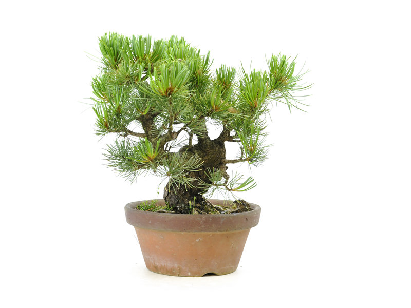 Japanese white pine, 22 cm, ± 20 years old
