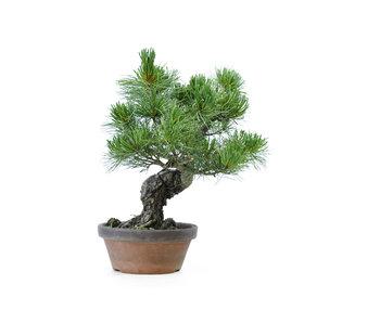 Japanese white pine, 30 cm, ± 20 years old