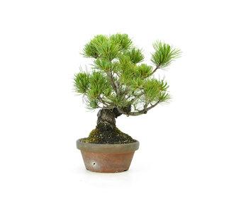 Japanese white pine, 20 cm, ± 20 years old