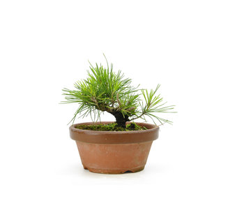 Japanese black pine, 13,6 cm, ± 10 years old