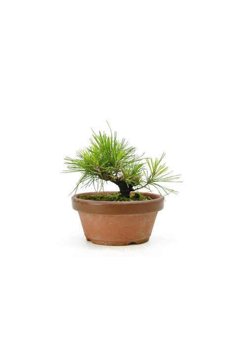 Japanese black pine, 13,6 cm, ± 10 years old