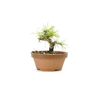 Japanese black pine, 13,7 cm, ± 10 years old