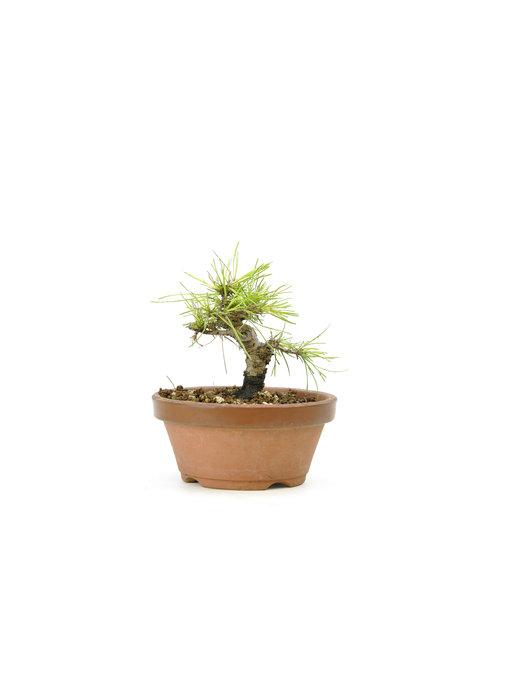 Japanese black pine, 13,7 cm, ± 10 years old