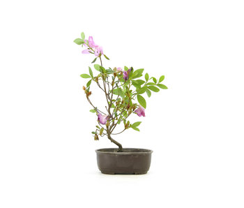Japanese azalea (Konkiyo), 19,4 cm, ± 6 years old