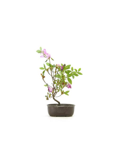 Japanese azalea (Konkiyo), 19,4 cm, ± 6 years old