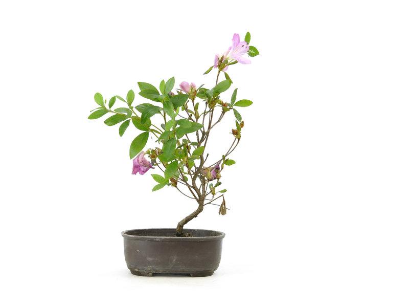 Azalea giapponese (Konkiyo), 19,4 cm, ± 6 anni