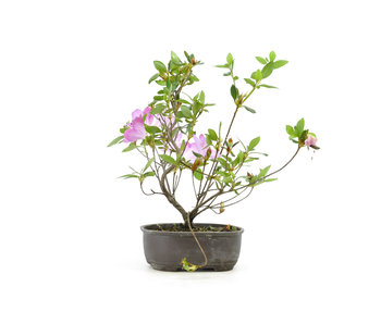 Japanese azalea (Konkiyo), 19,5 cm, ± 6 years old