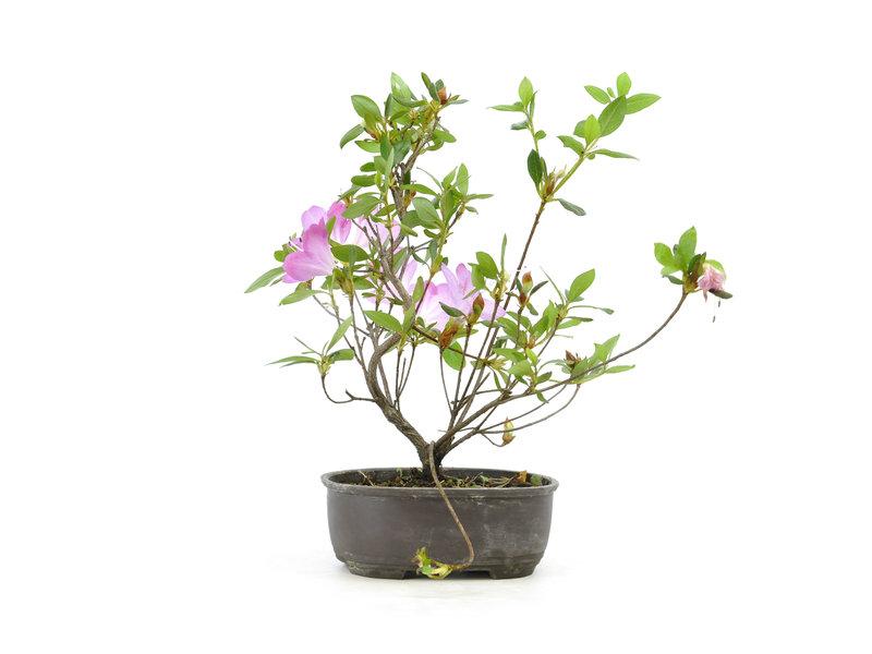 Japanse azalea (Konkiyo), 19,5 cm, ± 6 jaar oud