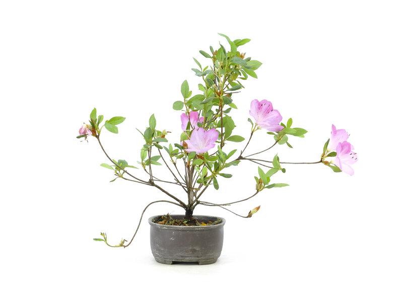 Azalea giapponese (Konkiyo), 19,5 cm, ± 6 anni