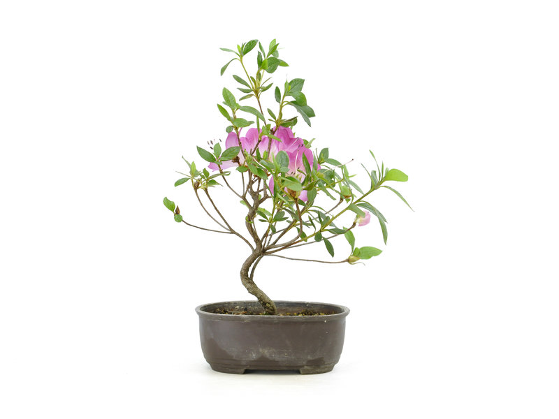 Azalea giapponese (Konkiyo), 19,6 cm, ± 6 anni