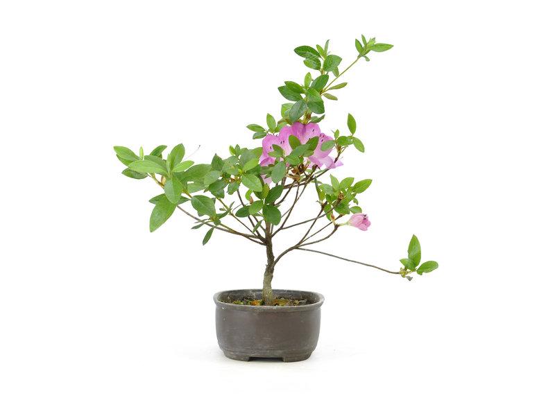 Japanese azalea (Konkiyo), 19,6 cm, ± 6 years old