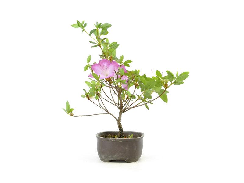 Japanse azalea (Konkiyo), 19,6 cm, ± 6 jaar oud