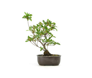 Japanese azalea (Konkiyo), 19,7 cm, ± 6 years old