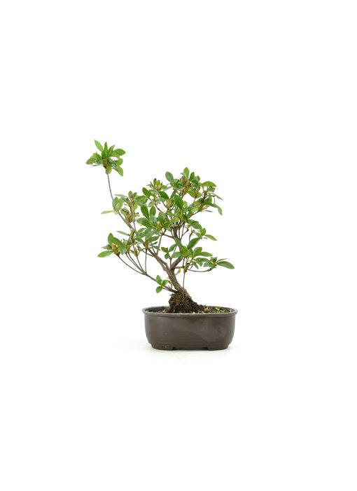 Japanese azalea (Konkiyo), 19,7 cm, ± 6 years old