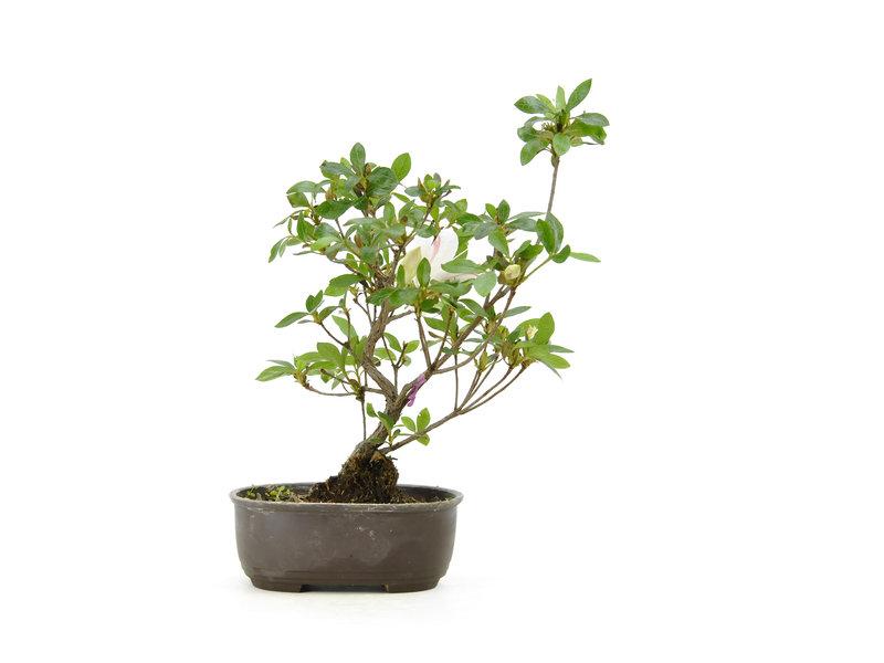 Japanse azalea (Konkiyo), 19,7 cm, ± 6 jaar oud